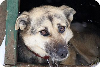 Husky Mix Dog for adoption in Jefferson, New Hampshire - Sue