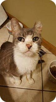 Domestic Shorthair Cat for adoption in Wichita, Kansas - Marius