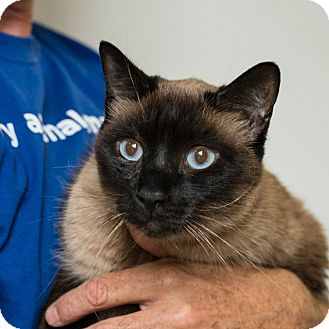 Domestic Shorthair Cat for adoption in Houston, Texas - Washington