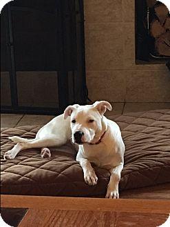 Labrador Retriever/Pit Bull Terrier Mix Puppy for adoption in Hainesville, Illinois - Uno