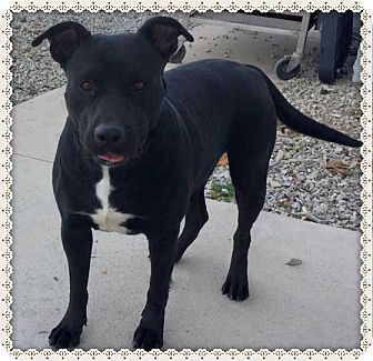 American Pit Bull Terrier Mix Dog for adoption in Aurora, Missouri - Lucy