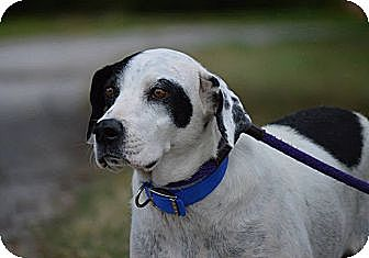 Dalmatian Mix Dog for adoption in ST LOUIS, Missouri - Mama Mags