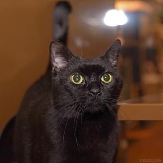 Domestic Shorthair Cat for adoption in Morgan Hill, California - Boo