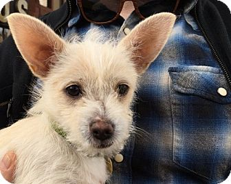 Chihuahua/Terrier (Unknown Type, Small) Mix Puppy for adoption in Emeryville, California - SUNNY