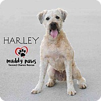 Adopt A Pet :: Harley (Wheaton Terrier) - Council Bluffs, IA