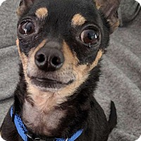 Adopt A Pet :: Harley - San Leandro, CA