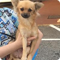 Adopt A Pet :: CINDERELLA - Anderson, SC
