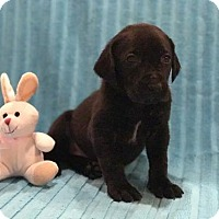 Adopt A Pet :: Merci - Denton, TX