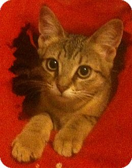 Domestic Shorthair Cat for adoption in Sterling Hgts, Michigan - Primrose