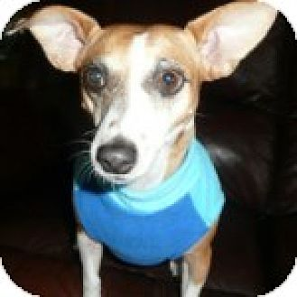 Chihuahua/Jack Russell Terrier Mix Dog for adoption in Houston, Texas - Betty