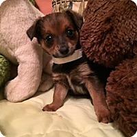 Adopt A Pet :: ASHER - Higley, AZ
