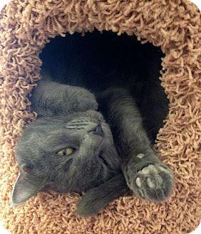 Domestic Shorthair Cat for adoption in Philadelphia, Pennsylvania - Jinx