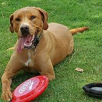 Labrador Retriever Mix Dog for adoption in Alpharetta, Georgia - Sampson