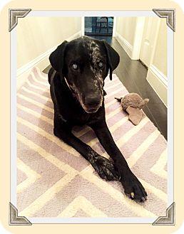 Labrador Retriever/Catahoula Leopard Dog Mix Dog for adoption in Austin, Texas - Mona