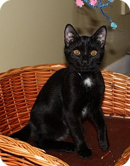 Domestic Shorthair Kitten for adoption in Millersville, Maryland - Leia