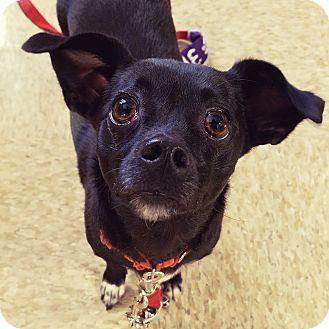 Chihuahua Mix Dog for adoption in Las Vegas, Nevada - Xuxy