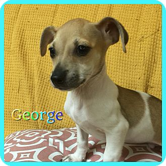 Chihuahua/Miniature Pinscher Mix Puppy for adoption in Hollywood, Florida - George