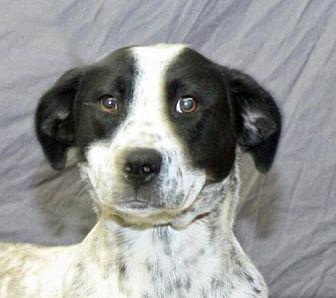 Australian Cattle Dog Dog for adoption in Modesto, California - Eleanor