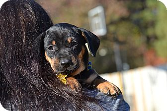 Dachshund Mix Puppy for adoption in Acworth, Georgia - Neolithic - Stone Age Litter