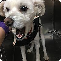 Adopt A Pet :: Jim Beam - Las Vegas, NV