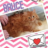 Domestic Mediumhair Cat for adoption in Keller, Texas - Bruce
