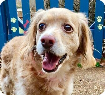Cocker Spaniel Dog for adoption in West Seneca, New York - Sweetie
