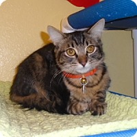 Adopt A Pet :: Q-Tip - Westminster, CO