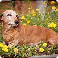 Adopt A Pet :: Amber Rose - San Jose, CA
