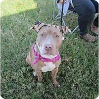 Adopt A Pet :: Latte - Dallas, PA