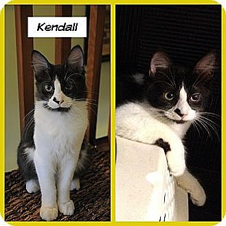 Domestic Mediumhair Cat for adoption in Miami, Florida - Kendall