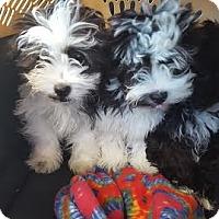 Adopt A Pet :: Baxter - Algonquin, IL