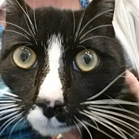 Domestic Shorthair Cat for adoption in Waxhaw, North Carolina - Blaze