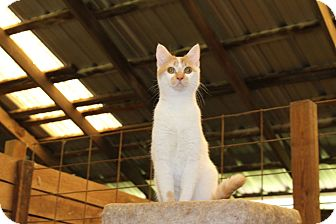 Domestic Shorthair Cat for adoption in Muldrow, Oklahoma - Buttons