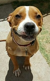 Pit Bull Terrier Mix Dog for adoption in Phoenix, Arizona - Honey