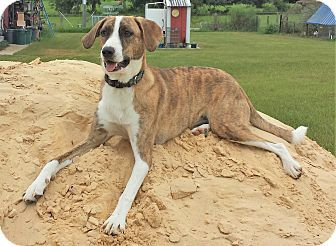 Whippet/Hound (Unknown Type) Mix Dog for adoption in Orange Lake, Florida - Sunflower
