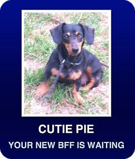 Dachshund Dog for adoption in Morrisville, Pennsylvania - Winnie