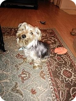 Yorkie, Yorkshire Terrier Mix Dog for adoption in Oviedo, Florida - Shaggy
