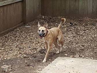 Shepherd (Unknown Type)/Black Mouth Cur Mix Dog for adoption in Houston, Texas - Luna 2