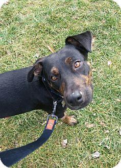 Labrador Retriever/Cattle Dog Mix Puppy for adoption in Allison Park, Pennsylvania - Bryn