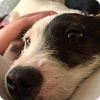 Adopt A Pet :: Patches - Aurora, CO