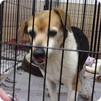Beagle Mix Dog for adoption in Jamestown, Tennessee - Hope