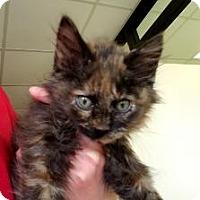 Domestic Longhair Kitten for adoption in Gadsden, Alabama - Caramel