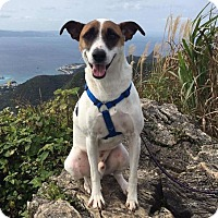 Boxer/Jack Russell Terrier Mix Dog for adoption in Upper Marlboro, Maryland - Charlie