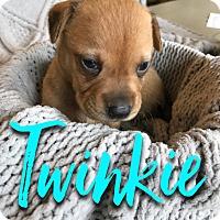 Adopt A Pet :: Twinkie - San Antonio, TX