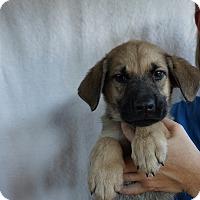 Adopt A Pet :: Gus - Oviedo, FL