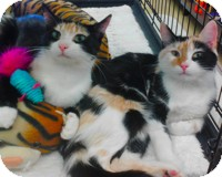Calico Cat for adoption in Atlanta, Georgia - Molly and Dolly