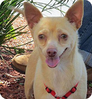Chihuahua Mix Dog for adoption in Yuba City, California - 04/20 Snow White
