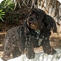 Adopt A Pet :: RINGO - Riverview, FL