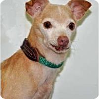 Adopt A Pet :: Salsa - Port Washington, NY