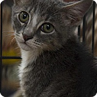 Domestic Shorthair Cat for adoption in Norman, Oklahoma - Star and Pixie